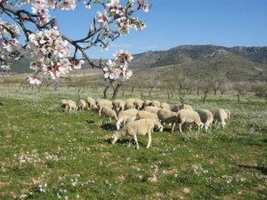 Manchego sheep in La Mancha Region of Spain.